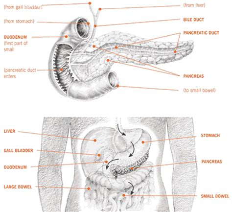 diagram of the pancreas can you show a diagram of where the pancreas is
