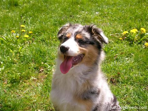 australian breeds australian shepherd growth chart models picture