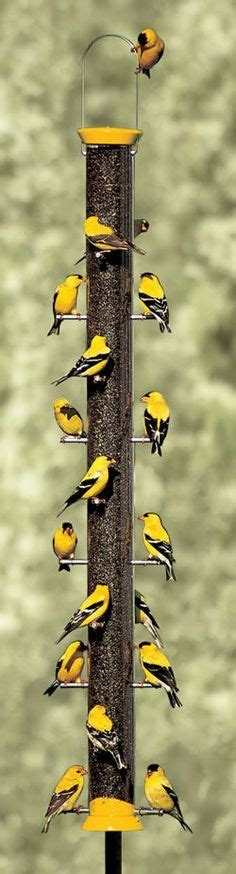 goldfinch on pinterest goldfinch thistle seed and finches