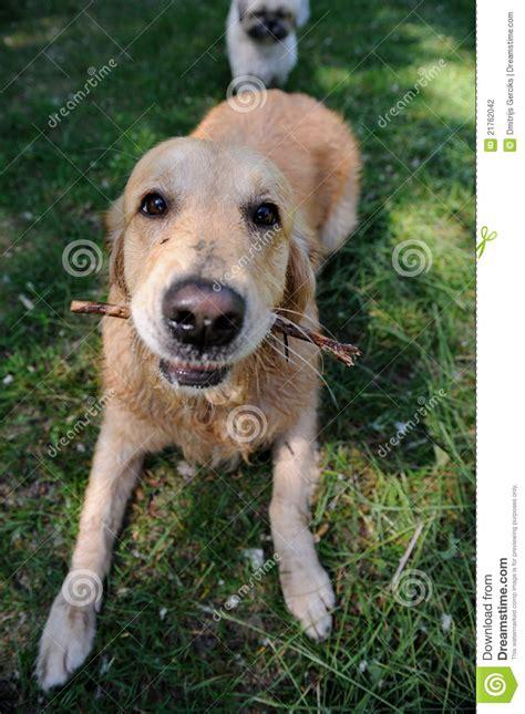 walking golden retriever puppy healthy golden retriever walking stock photography image 21762042