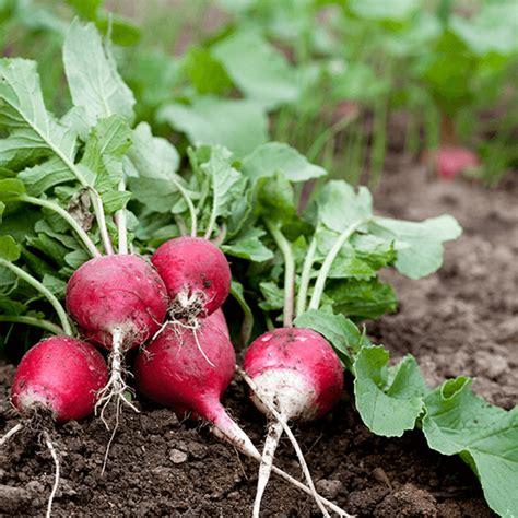 Legumes Qui Poussent Vite quels sont les l 233 gumes qui poussent vite au potager