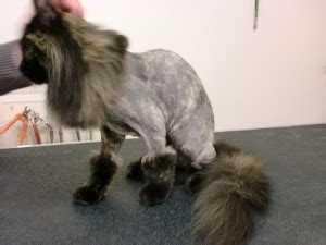 cat haircuts edmonton grooming and bathing for cats