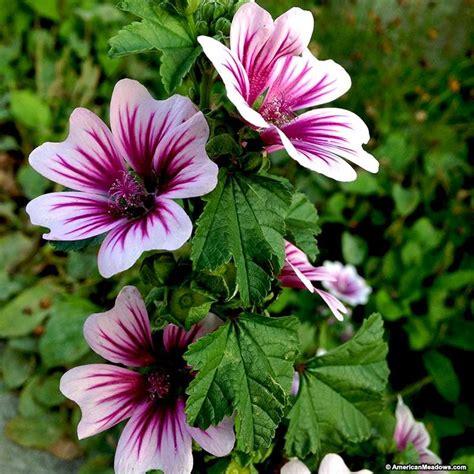 mallow zebrina malva sylvestris mallow perennials from