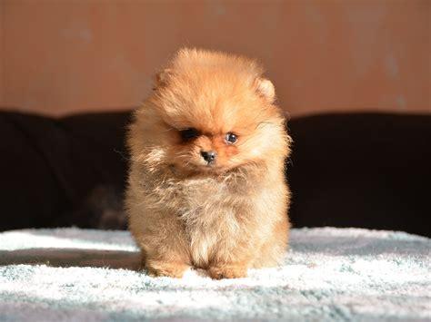 pomeranian breeders ohio pomeranian puppies for sale in ohio and breeders rascal pomeranian puppy for sale