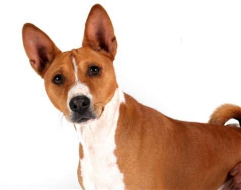 basenji dogs basenji dogs