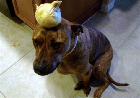 can dogs eat cooked onions can dogs eat onions risks side effects treatment