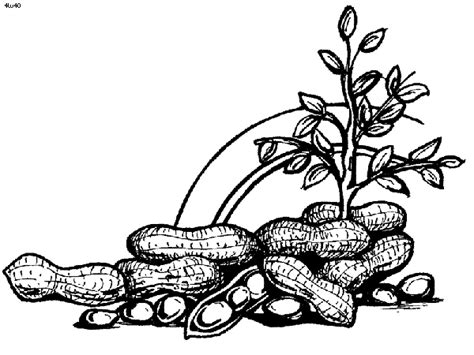 peanut clipart coloring page pencil and in color peanut