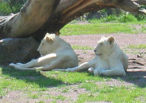 imagenes leones blancos movimiento imagenes de leones blanco en movimiento imagui