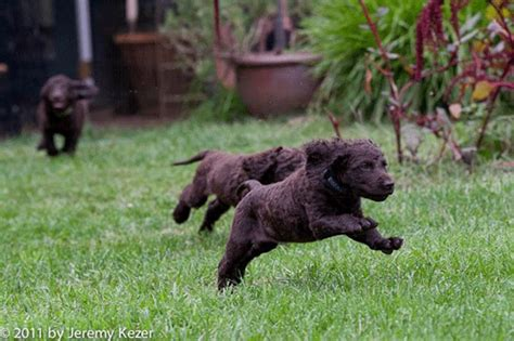 american water spaniel puppies german water spaniel images