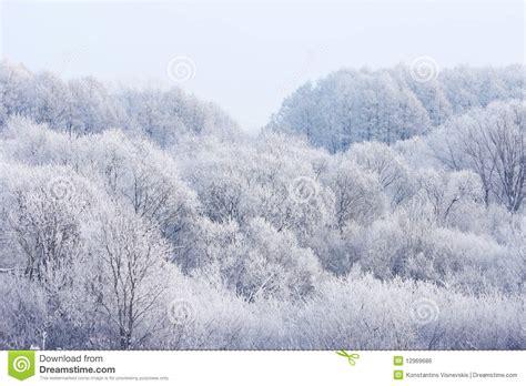 frosty forest royalty free stock above frosty winter forest royalty free stock image