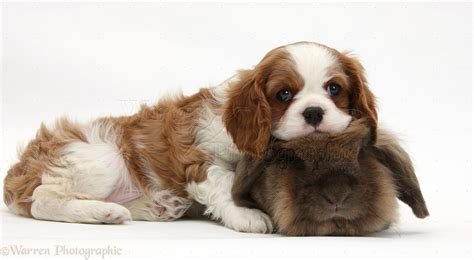 Charles And Ceits cavalier king charles spaniel and cats 9 free wallpaper