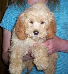 mini goldendoodles for sale in iowa goldendoodle mini iowa