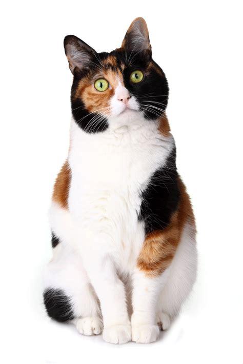 cats breeders japanese bobtail breeders australia japanese bobtail