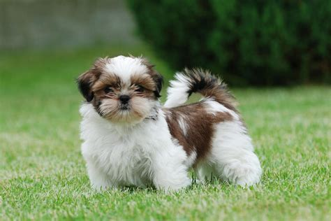 cutest breed in the world list cutest breeds in the world with picture do you make them pets zoopedia