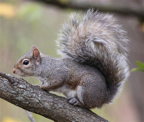 types of maryland squirrels mid atlantic wildlife control