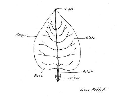 coloring page parts of a leaf label leaf colouring pages