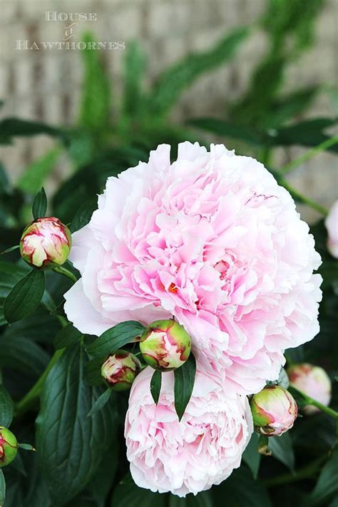 how to grow peonies your neighbors will envy gardens