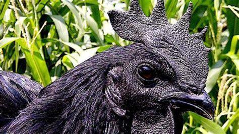 indonesian ayam cemani rare black chickens  java