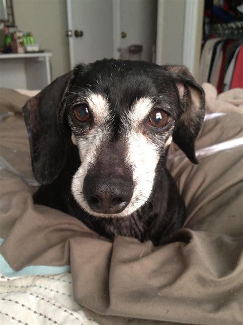 adoption va dachshund rescue richmond va dogs in our photo