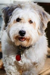 havanese rescue michigan pin by havanese rescue on havanese rescue dogs