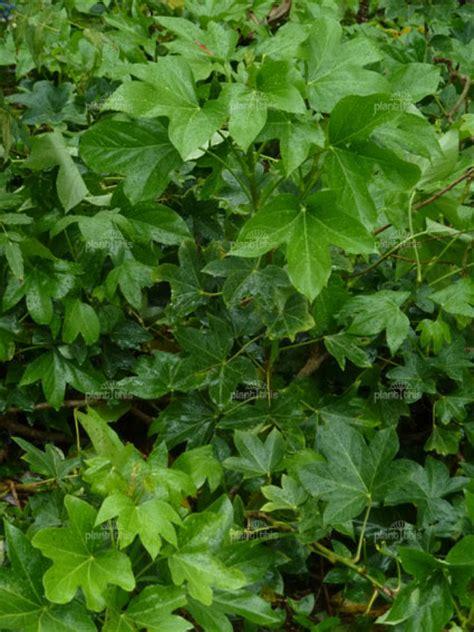 come bagnare le piante quando si va in vacanza falsa edera consigli coltivazione e cura