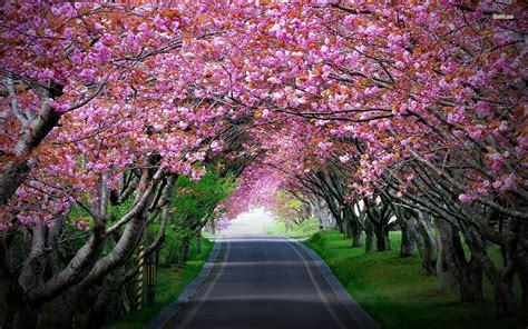 pictures of cherry blossom trees cherry blossom tree anime wallpaper
