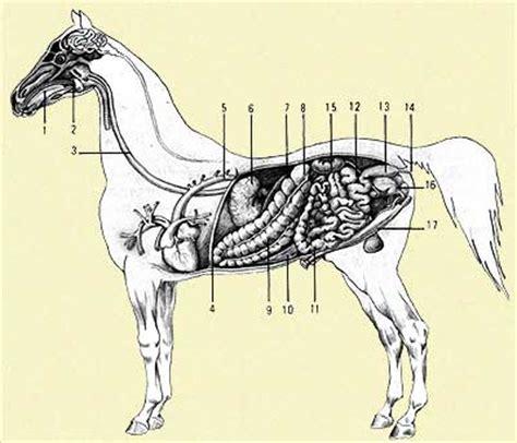 posizione organi interni come 232 fatto un cavallo