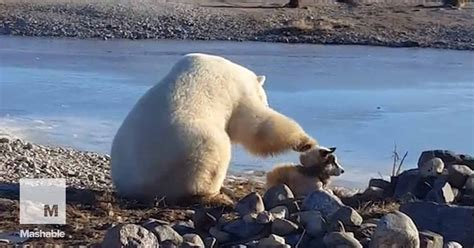 polar petting this polar petting a is proof that everything is going to be just