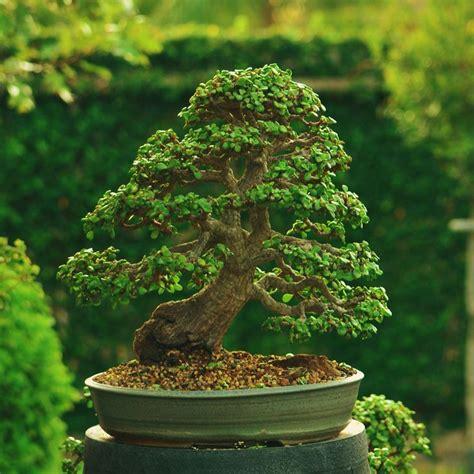 Indoor Bonsai Kaufen by 25 Best Ideas About Jade Bonsai On Buy Bonsai