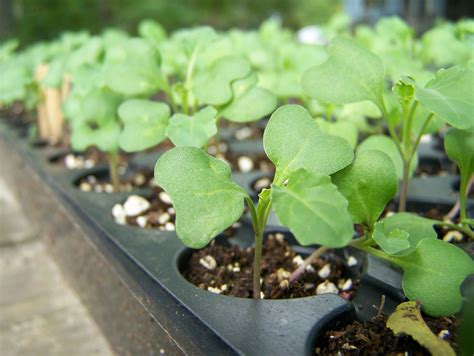 Does Sprouts Sell Detox Stuff by Organic Broccoli Seeds Buy Organic Broccoli Seeds In