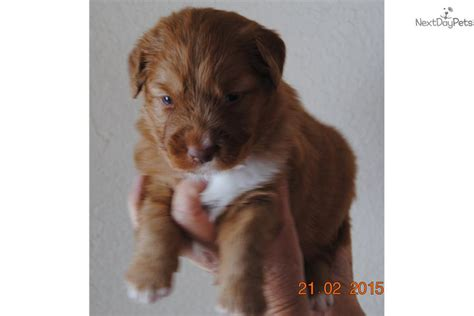 duck tolling retriever puppies for sale scotia duck tolling retriever puppy for sale near missoula montana 161c65ad 05d1