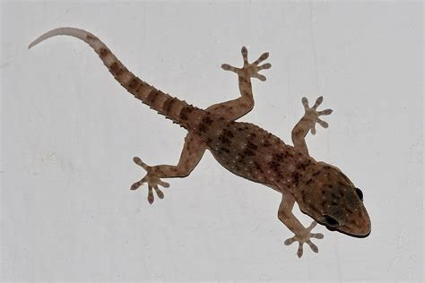 Gecko Wall gomero wall gecko