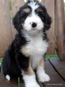 bernedoodle puppies for sale in michigan bernedoodle puppy all creatures great small puppys dr who and i