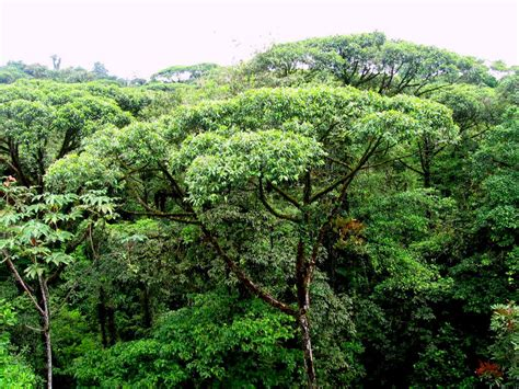 What Is A Forest Canopy Costa Rica S Tropical Rainforest