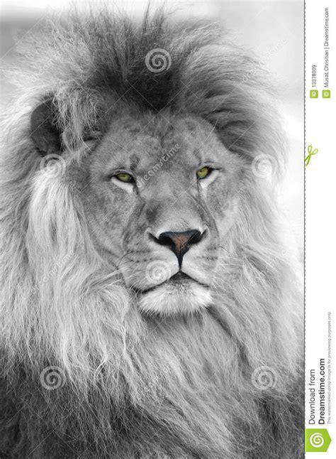 imagenes de leones blanco y negro retrato blanco y negro del le 243 n im 225 genes de archivo libres