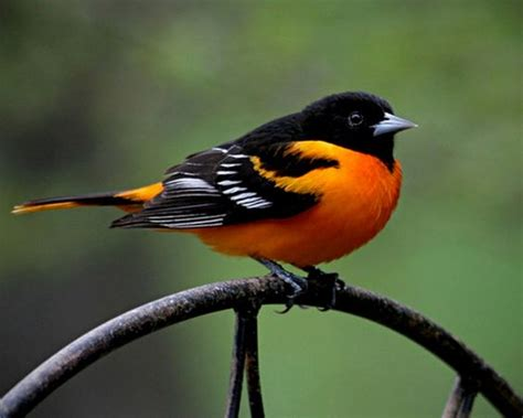 oriole maryland state bird also baseball team birds