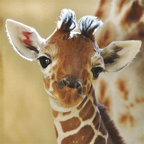 giraffe wallpaper pinterest best 25 baby giraffes ideas on pinterest so cute one
