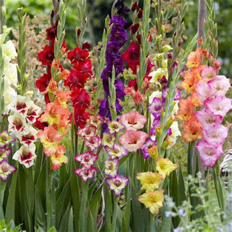 serbi bunga gladiol  pedang kecil dunia tumbuhan