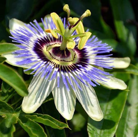 passiflora fiore della passione passiflora fiore della passione fiori in giardino il