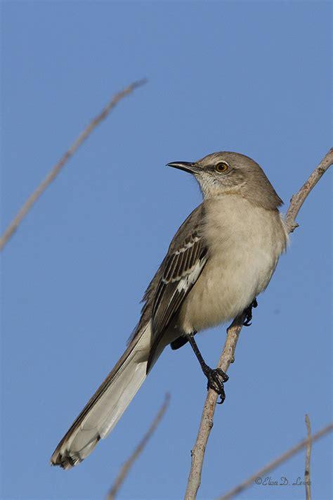 northern mockingbird two shutterbirds