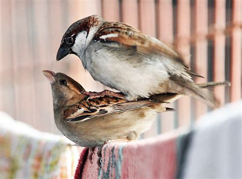 do house finches mate for life how do birds mate www imgkid com the image kid has it