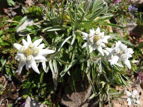 alpenblumen bergblumen