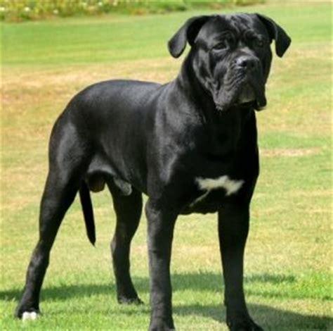 Do Bulldogs Shed A Lot by Corso Shedding A Lot 28 Images Alano Espanol Bulldog