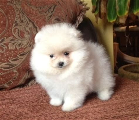pomeranians for sale in pennsylvania pitbull show dogs for sale pomeranians for sale in pa dogs as pets in africa earth