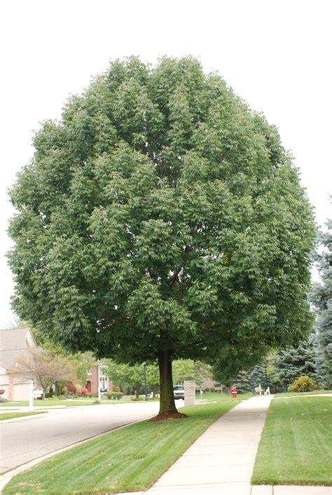 michigan tree emerald ash borer michigan pictures emerald tree care llc