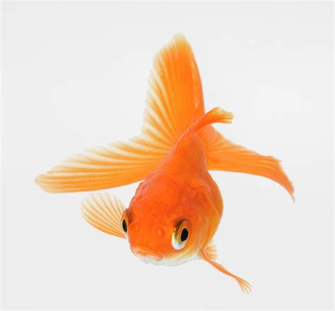 what size fan should i get for my bedroom can fantail goldfish be with smaller fish in a forty