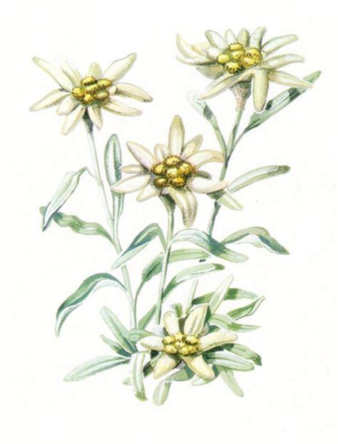 la stella alpina fiore ilclanmariapia la stella alpina