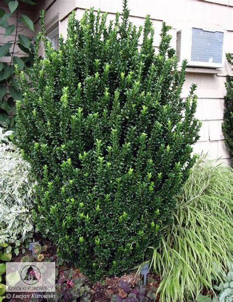 plants that grow in complete darkness 17 best ideas about evergreen shrubs on pinterest dwarf