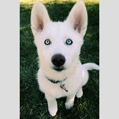 white husky pup...