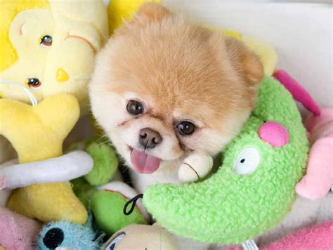 the cutest dogs in the world is boo the cutest in the world